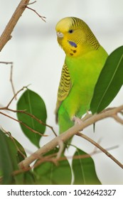 Portrait of a green / yellow female budgie sitting on a branch and surveilling its surroundings.