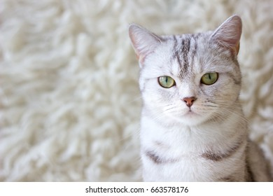 Portrait of grey britain cat. Very beautiful cat
