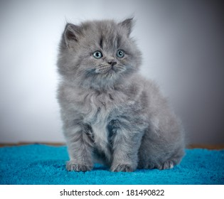 portrait of grey british long hair kitten