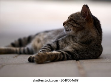 portrait of a grey cat with stripes laying on a ground, close-up, selective focus. High quality photo