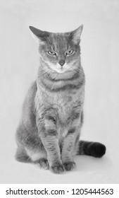 Portrait of a grey european short-hair cat, black and white