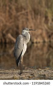 Portrait of Grey Heron