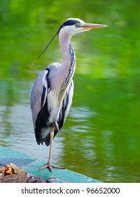 Portrait of a Grey Heron on the side of a lake in summer.