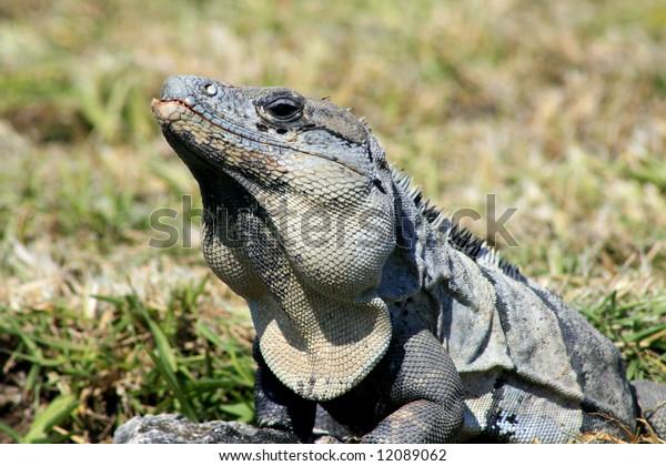 Portrait of a Grey Iguana  Tulum, Mexico