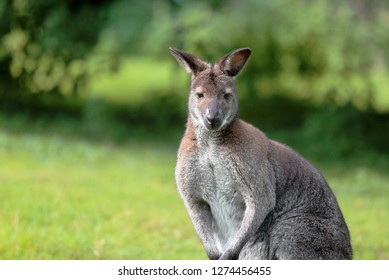 Portrait of a grey kangaroo with green background.