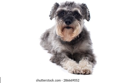 Portrait of Grey Miniature Schnauzer Terrier Dog Lying Down in Studio with White Background