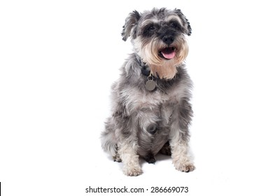 Portrait of Grey Miniature Schnauzer Terrier Dog Sitting in Studio with White Background