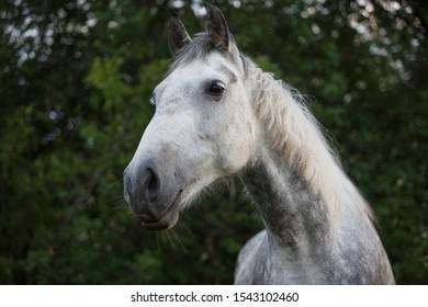 portrait of a grey orlov trotter mare