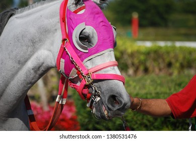 Portrait of a grey racehorse wearing bright pink blinders