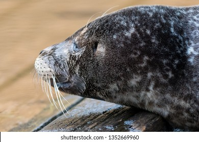A portrait of a grey seal lying on a wooden dock near the North Atlantic Ocean. The animal has long whiskers, earless, silver grey with black fur with white spots, large snouts, light grey patches,