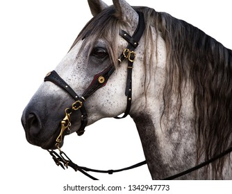 Portrait of a grey Spanish Andalusian horse with traditional bridle