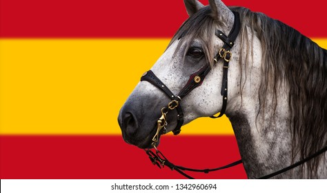Portrait of a grey Spanish Andalusian horse with traditional bridle - Spanish flag colors on the background