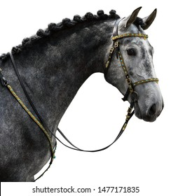 Portrait of a grey Spanish Andalusian horse with traditional bridle isolated on the white background