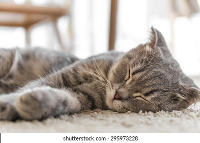Portrait of grey tabby cat sleeping on white rug