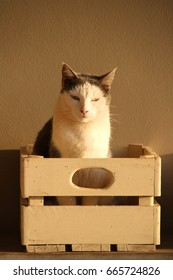Portrait of a grey and white cat sitting in a wooden crate in the golden light of a setting sun.