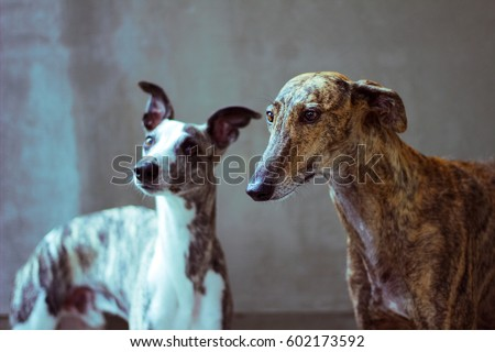 portrait of greyhounds, two racing dogs. Spanish Galgo and Whippet