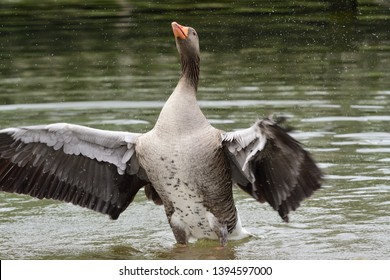 Portrait of a greylag goose (anser anser) flapping it's wings in the water