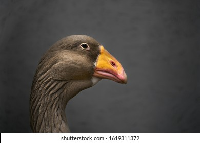 Portrait of a Greylag Goose with waterdrops under the beak. Grey goose - Anser anser