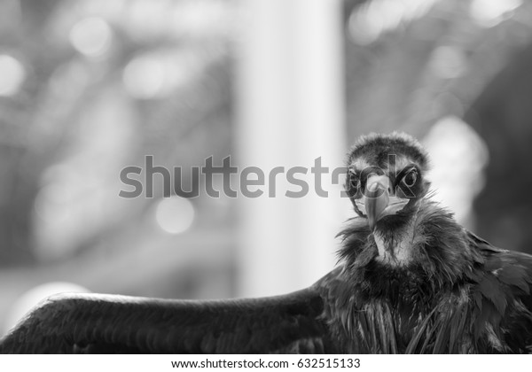 Portrait of Griffon Caucasian with wing - black and white