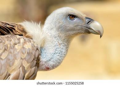 Portrait of griffon vulture (Gyps fulvus) seen from profile