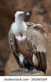 Portrait of Griffon vulture (Gyps fulvus).