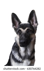 portrait of a grinning dog on a white background. the East-European shepherd.