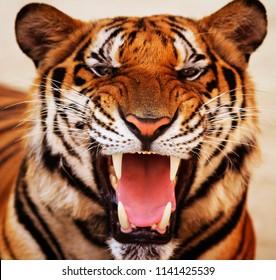 portrait of a grinning tiger