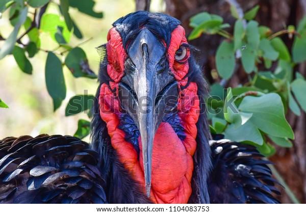 portrait of a ground hornbill
