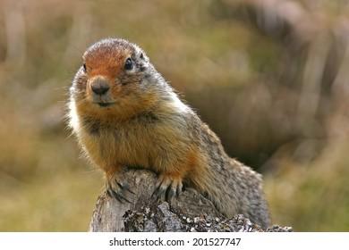 Portrait of a ground squirrel