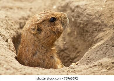 Portrait of a ground squirrel feeding