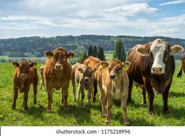 Portrait of a group of cows in various ages. Taken in Thurgau, S