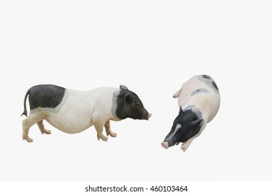 Portrait of grunting pig isolated on white background