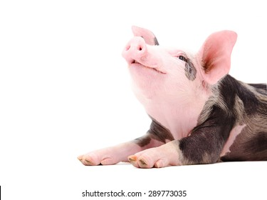 Portrait of a grunting piglet isolated on white background