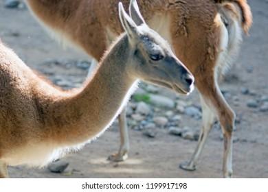 Portrait of a guanaco (Lama guanicoe), a camelid native to South America