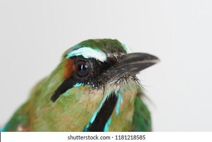 Portrait  of guardabarranco bird close up on white studio background