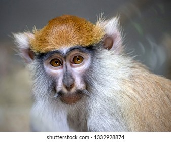 portrait of guenon monkey
