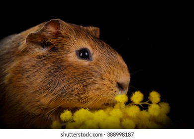 Portrait of a ?ute guinea pig with a bouquet of mimosa on a black background