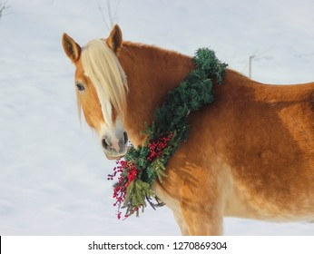 portrait of haflinger in christmas and new year wreath
