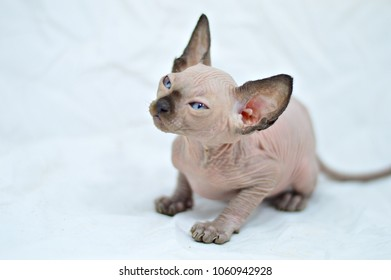 Sphynx Kittens Images, Stock Photos & Vectors | Shutterstock