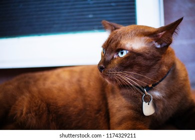 Portrait of handsome brown cat looking outside to natural.
