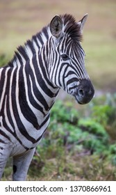 Portrait of a handsome Burchel's zebra in South Africa