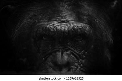 Portrait of a handsome Gorilla in the wild