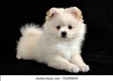 Portrait of handsome long-haired cream color miniature German Spitz puppy on black background. The puppy is 2,5 months old on the picture.