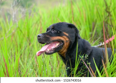 Portrait of a handsome Rottweiler dog. Outdoor. With owner, on leash.