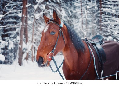 Portrait of a handsome stallion horse horse winter outdoors, winter