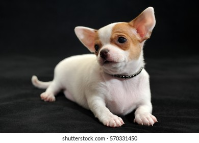 Portrait of a handsome white with red short-hair Chihuahua puppy on a black background. The puppy is 2 months old on the picture.