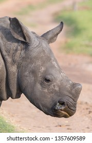 Portrait of a handsome young white rhino in Africa
