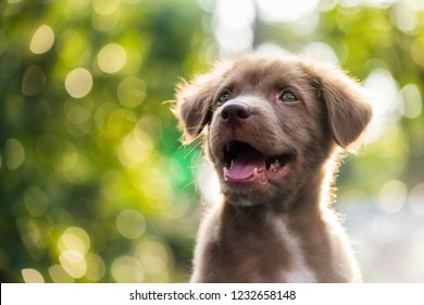 Portrait of happy adorable Brown labrador retriever puppy dog smile against natural sunset foliage bokeh background and copy space for text. Animal in spring park.