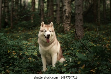 Portrait of happy and beautiful dog breed siberian husky sitting on the hill the green forest in summer