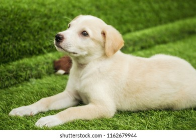 Portrait of Happy brown cute Labrador Retriever puppy with foliage bokeh background. Head shot of smile dog with colorful spring leaf